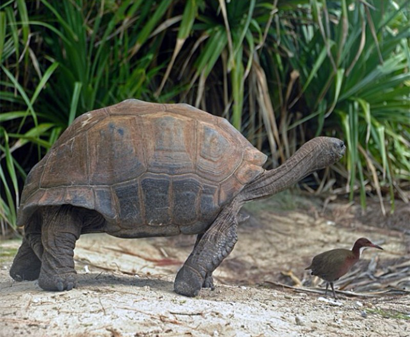 An Aldabra Flightless Rail under the shadow of a giant tortoise